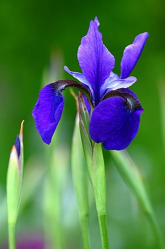 Blue Iris Iris Flowers Purple Flowers Pretty Flowers