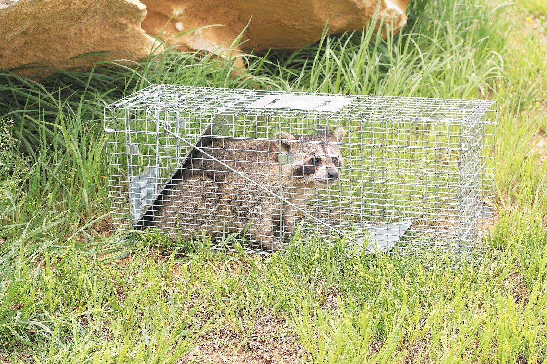 Get rid of raccoons from bird feeders or pet food