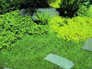 Sprawling and Spilling Plants for Paved Areas: Leptinella squalida  (New Zealand Brass Buttons)
