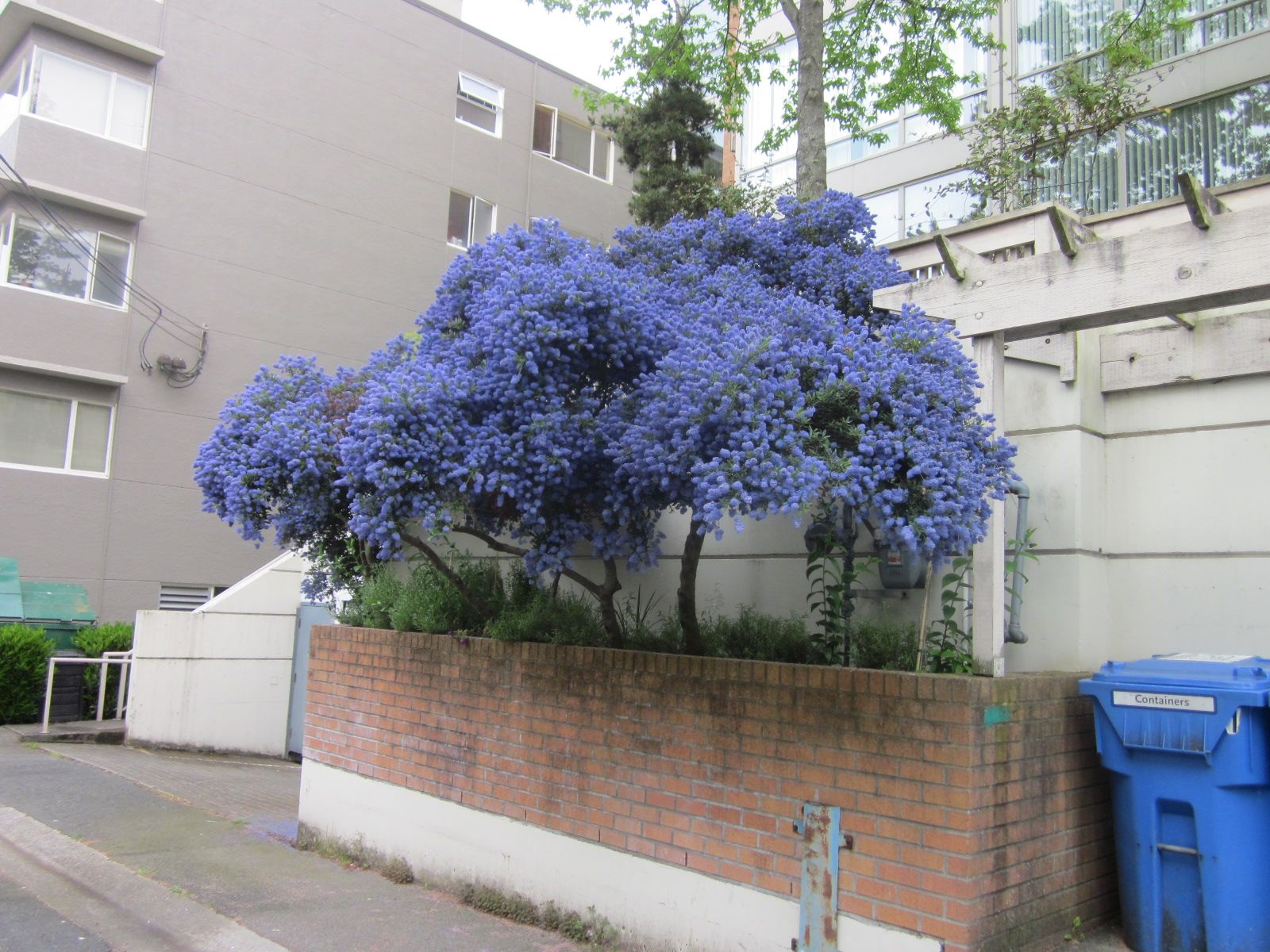 Ceanothus is an evergreen shrub or small tree with many clusters of ceanothus is an evergreen shrub or small tree with many clusters of small blue flower clumps in spring and summer bees east border on retainin wall izmirmasajfo