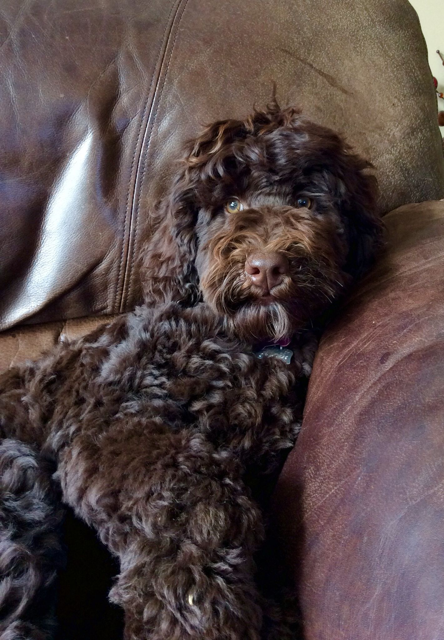 Chocolate Australian Labradoodle Labradoodle Labradoodle Dogs Dogs