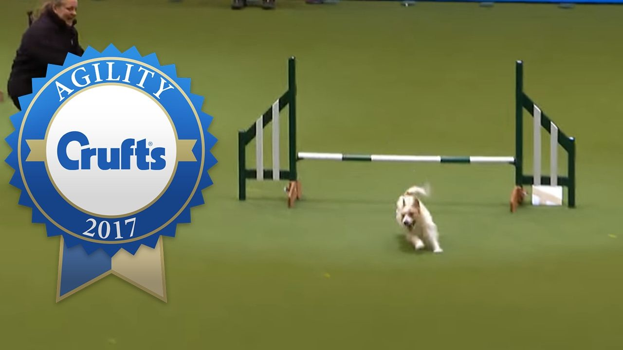Hilarious jack russell goes crazy with excitement at crufts