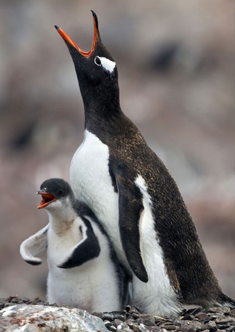 "I am Penguin, Hear Me Roar. ""A young gentoo penguin gets into a flap as it demands food from its mother. Or maybe it had forgotten it was a penguin and was trying to fly?"""
