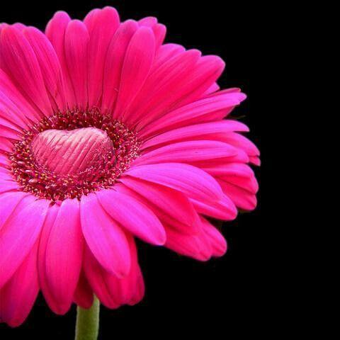 すごい反響 恋愛運upの 苦しい恋が楽しくなる 究極の自愛で最高に幸せな恋が叶う方法 ガーベラ ピンク 恋愛運アップ 画像 恋愛 待ち受け