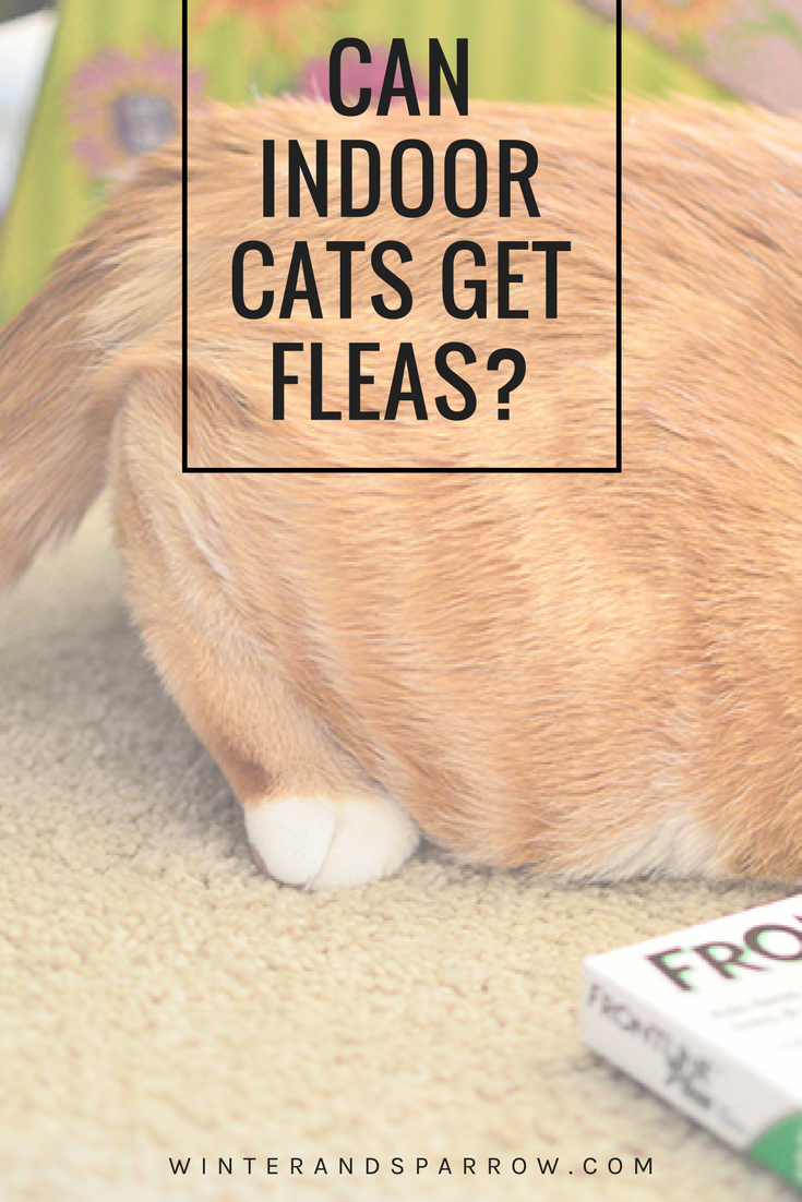 Can You Get Fleas From A Cat Can Indoor Cats Get Fleas Indoor Cat Fleas Cats