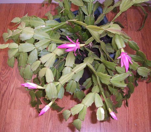 Казват, че колкото цвята има по коледния кактус, толкова са приятелите ти Снимка: Wikimedia, GNU FDL