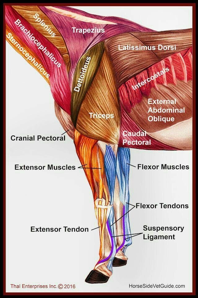 Músculos de cuello mano y parte del tórax del caballo | Caballos ...