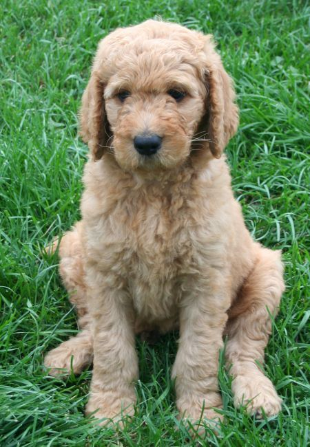Danny Kaye The Goldendoodle Bow Wow Puppies Goldendoodle Dogs