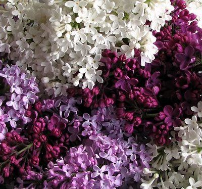 My All Time Favorite For Smell And Looks Just Waiting For Those Smells Of Spring Flores De Color Lila Flores Pintadas Flores De Amor