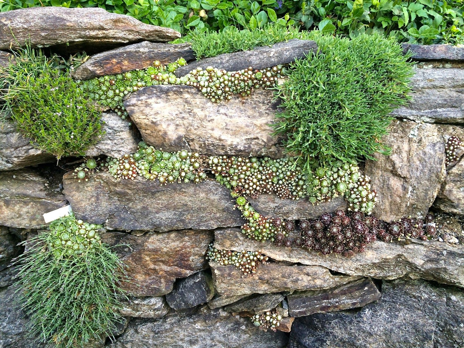 Succulent and moss planted rock wall garden at Wave Hill in