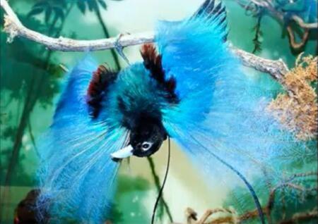 طائر الجنة الأزرق وتوجد عدة أشكال رائعة من طائر الجنة فسبحان الله Beautiful Birds Nature Birds Most Beautiful Birds