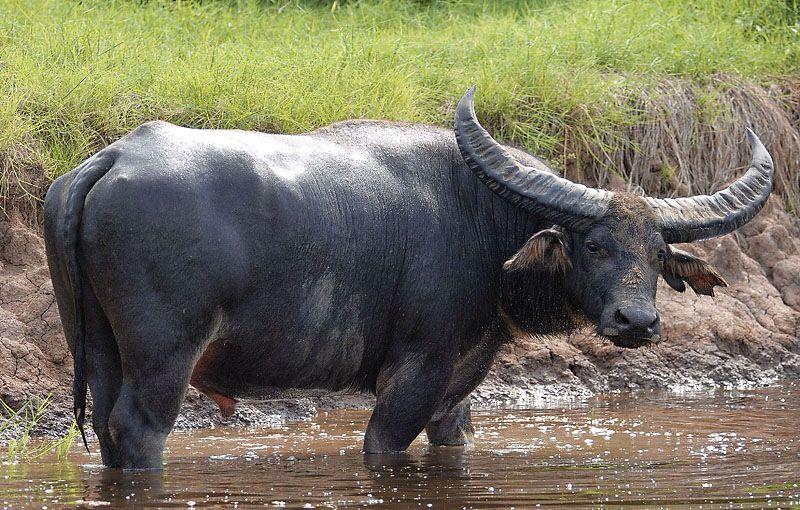 Scientific Name Bubalus arnee; Common Name Wild Water
