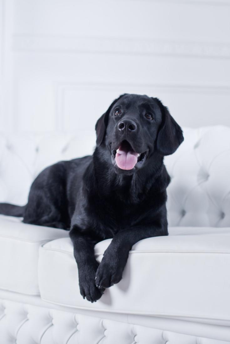 Labrador Retriever In The Interior Labradorretriever Labrador Black Labrador Black Labrador Retriever