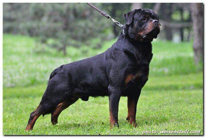 Absolutely Gorgeous Rottweiler Dog Rottweiler Puppies