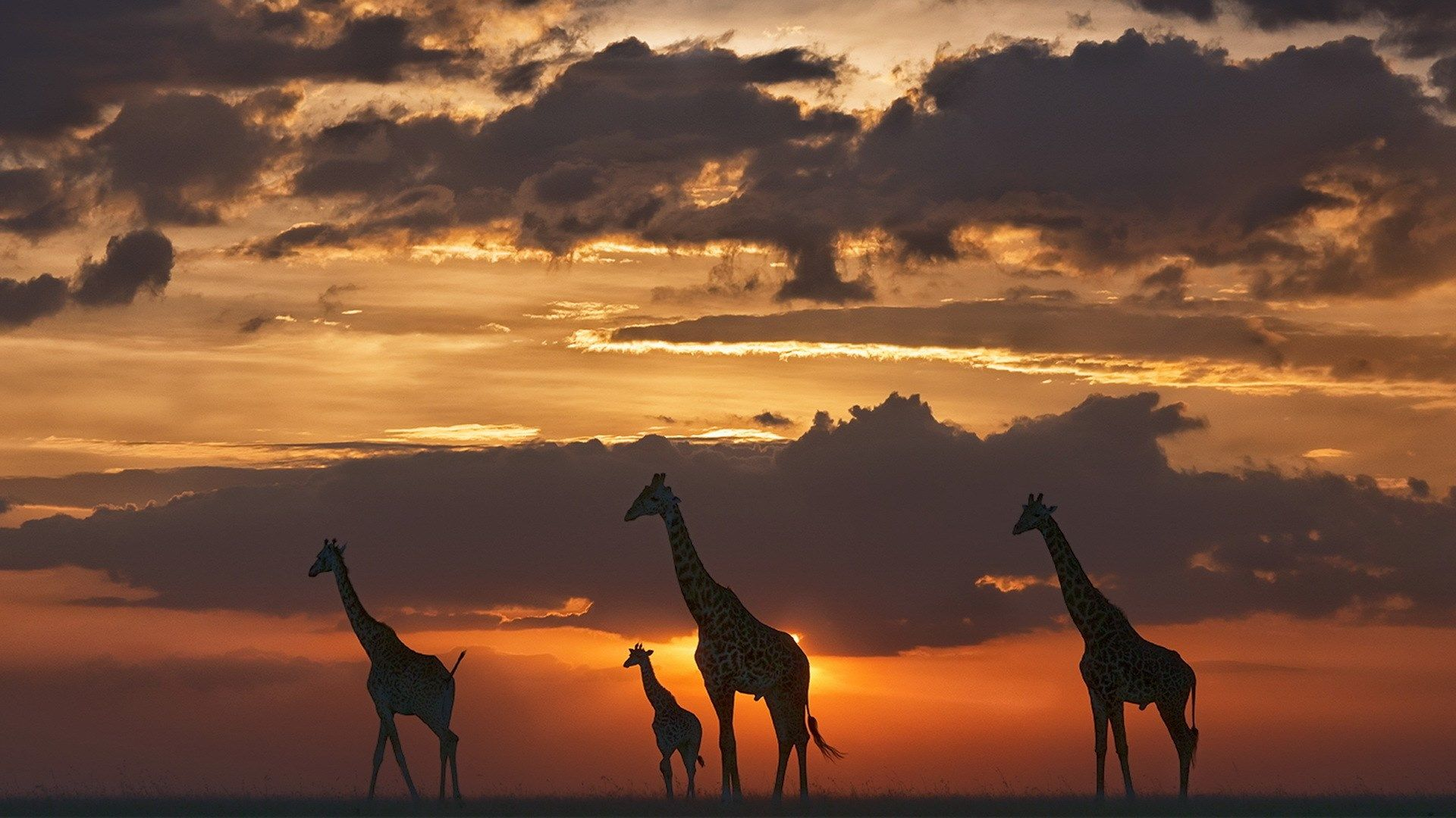 free download pictures of giraffe