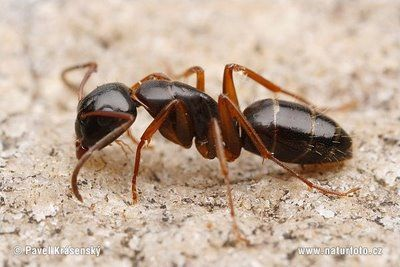 formigas venenosas - Pesquisa Google