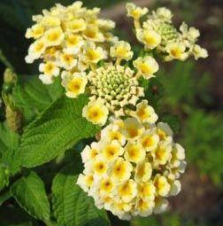 hortensias amarillas - Buscar con Google