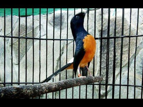 Pin By Bner On Masteran Murai Batu In 2021 Batu Animals Fighter