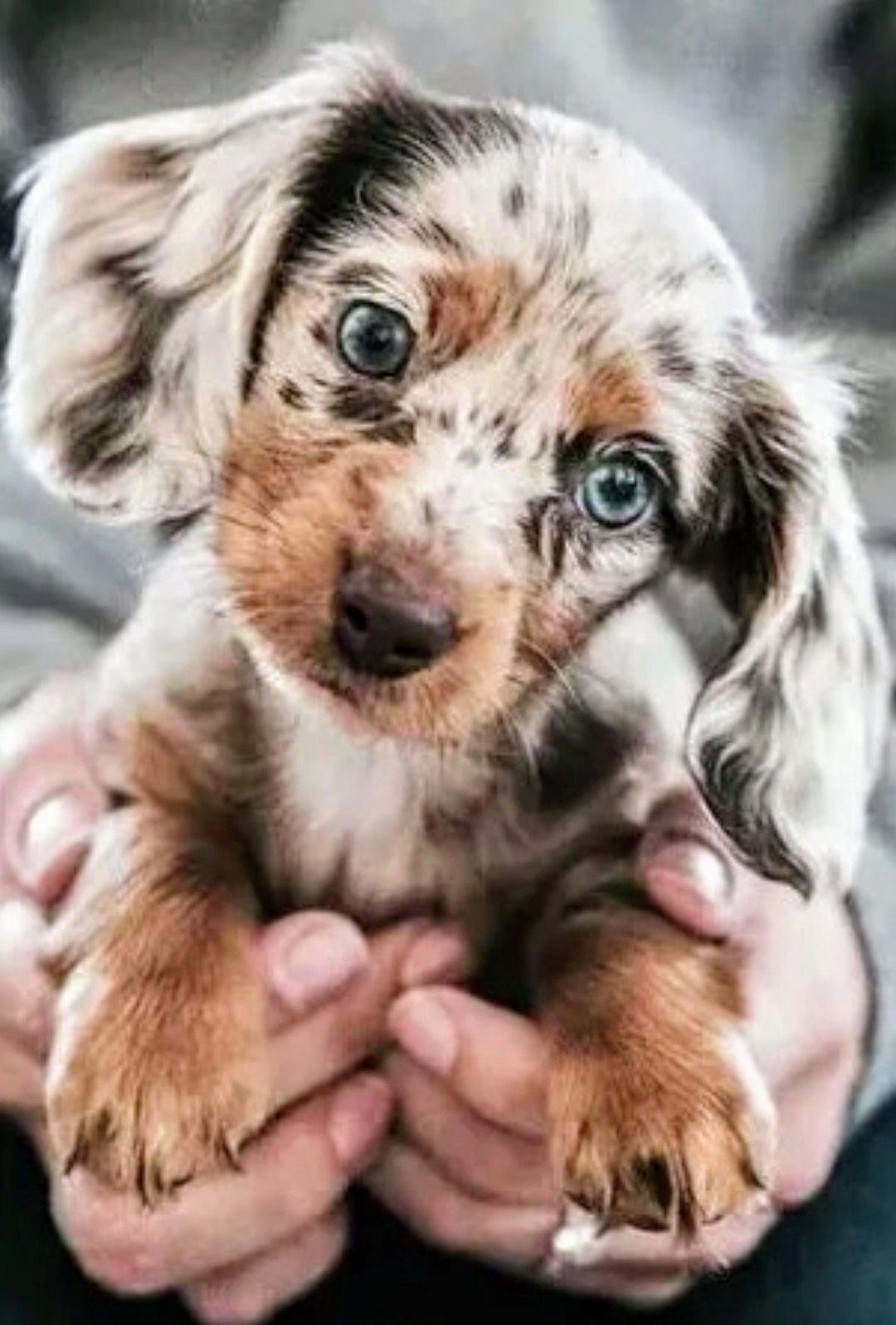 Pin By Wild For Weiners On Dachshund Cute Baby Animals Cute