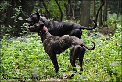 Greyhound X Pit pics ? | Page 2 | Game Dog Forum | Dogs | Dogs, Dog