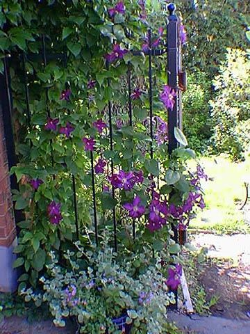 Wrought iron gate with clematis at home gardening for Climbing flowering plants for fences