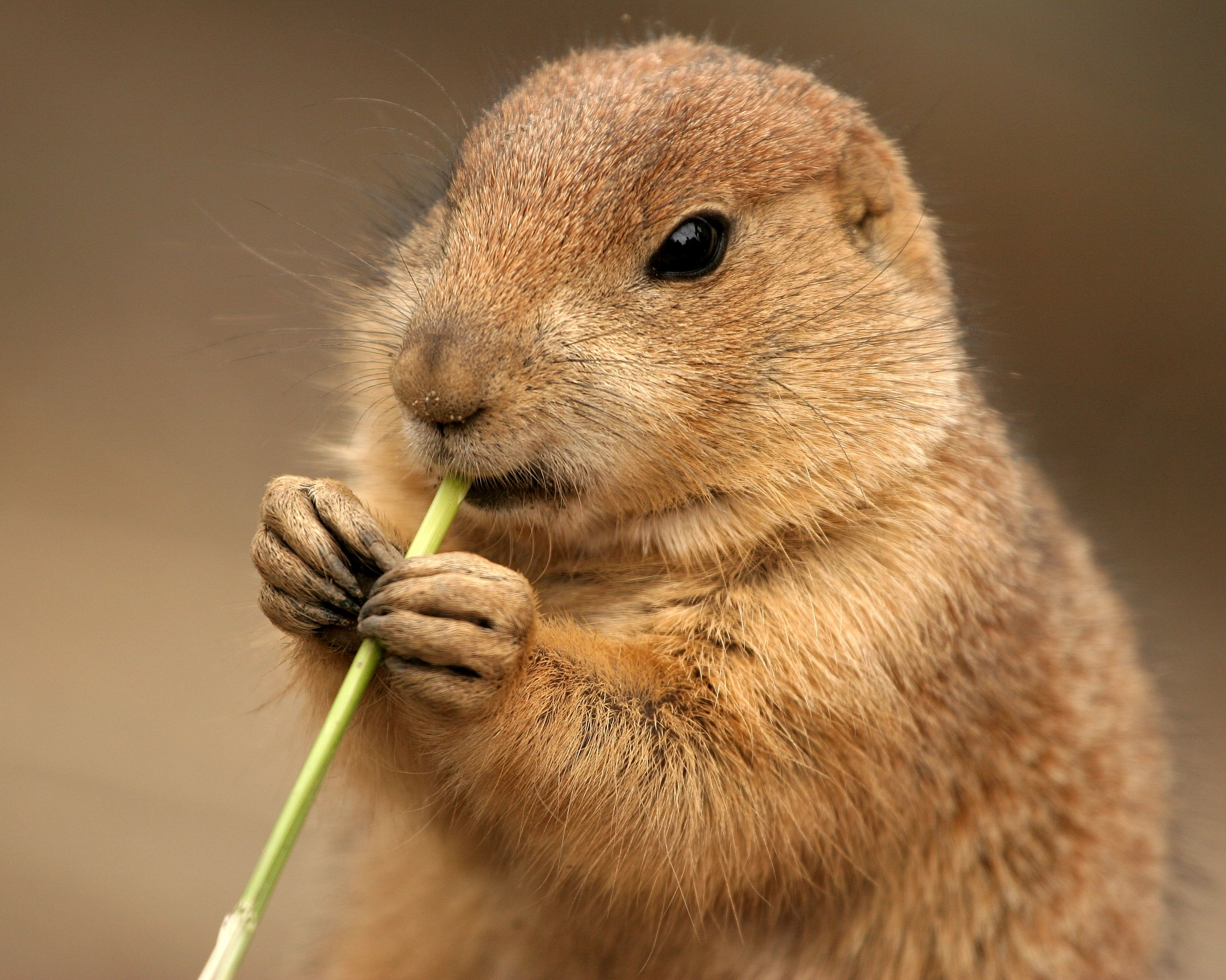 Pics For Gt Cute Prairie Dog Pet Cute Pictures Of Prairie Dogs
