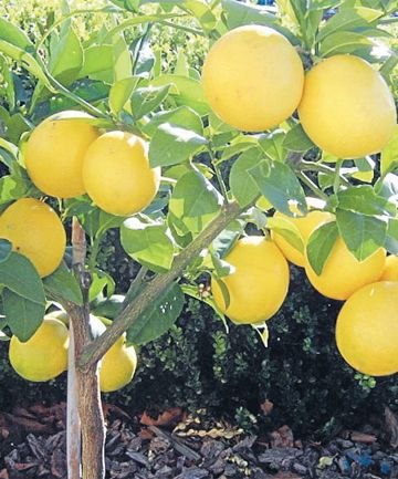 Gardening Citrus Tree Tlc How To Grow Lemon Meyer Lemon Tree Citrus Trees