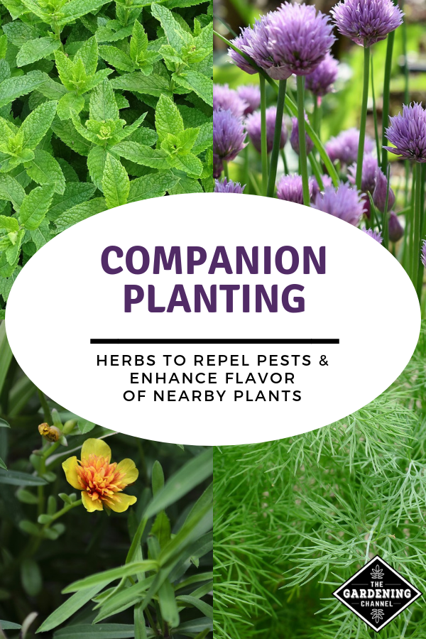 Try growing these herbs as companion plants in your vegetable garden Use these herbs as natural pest control and to enhance flavor of nearby plants Learn more with these...