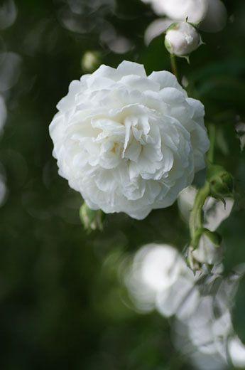 Hybrid Setigera Large-flowered Climbing Rose: 'Long John Silver' (U.S., 1934)