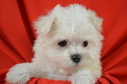 Cute Registered Maltese Puppies Maltese Puppy Cute Puppies Maltese Dogs