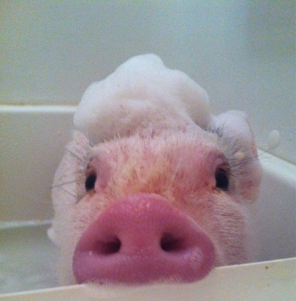 Cerdito en el baño, simplemente adorable.