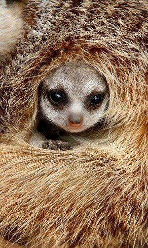 A Meerkat pup makes itself comfortable. Cute animals