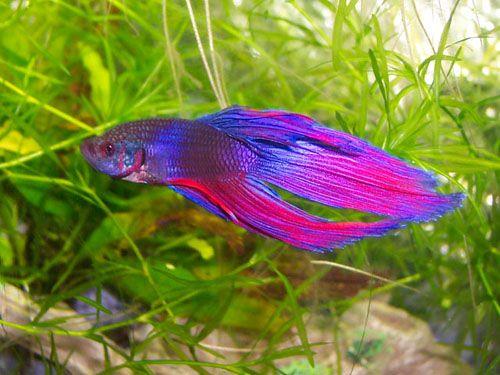 Pretty Pretty Fish Betta Fish Betta