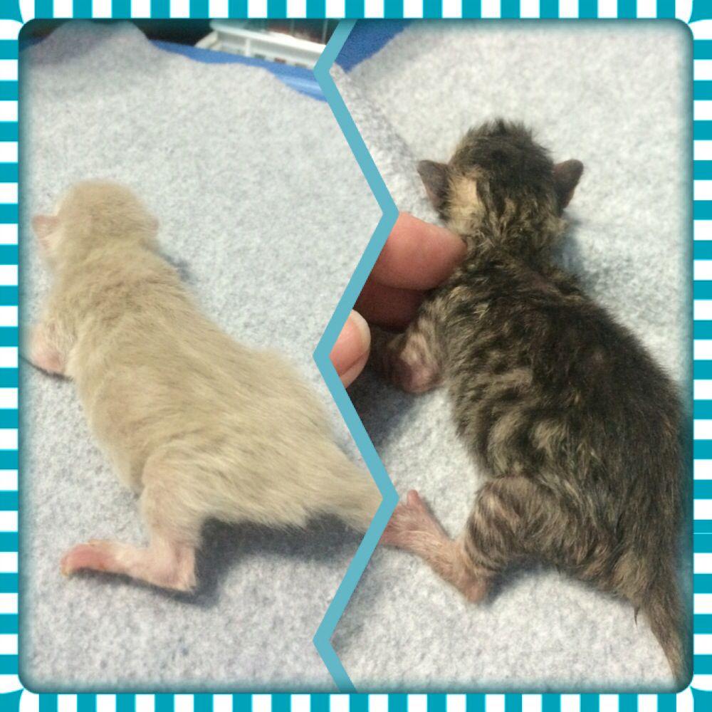 2 Premie Rescues Newborn Kittens Kittens Kitten Rescue