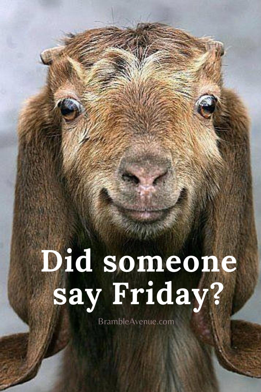 Funny Goat Friday Meme Bramble Avenue Friday Humor Happy Friday Humour Funny Friday Memes