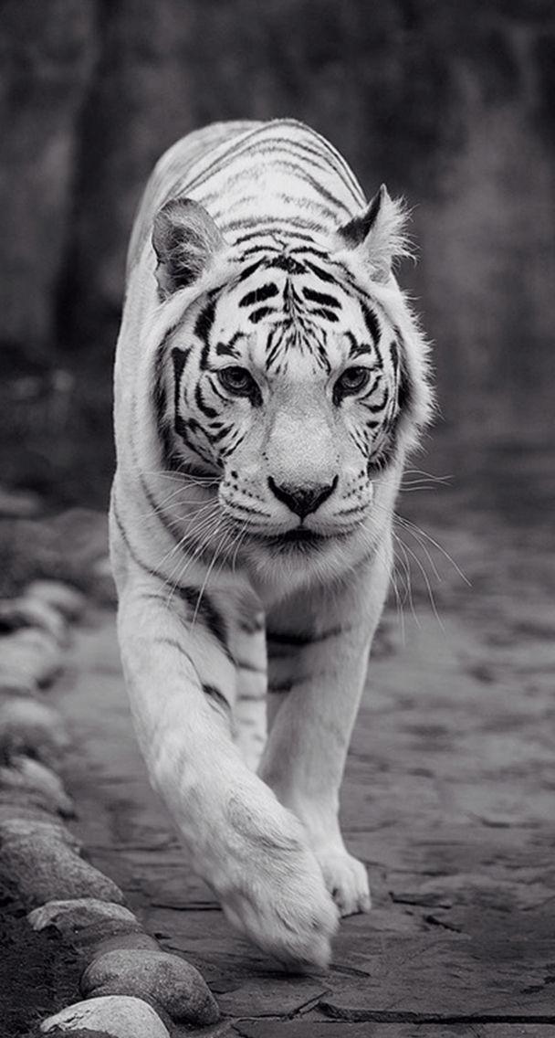 Be The King Tiger Wallpaper Iphone Lock Screen Hewan Binatang Mamalia