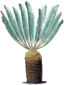The World List of Cycads is now online. http://cycadlist.org/index.php