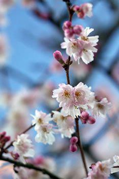 Autumn Cherry Prunus Autumnalis Arboretum Tree Blossoms From October To March Cherry Blooms Tiny White Flowers Arboretum