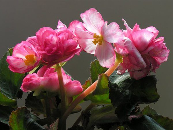 The Colorful Hues Of The Begonia Plant S Flowers Can Add Dashes Of Energy To Your Backyard Or Your Potted Garden Though Begonias Ar Flower Pots Begonia Plants