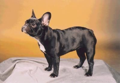 French Bulldog French Bulldog Dog French Bulldog Pictures French Bulldog