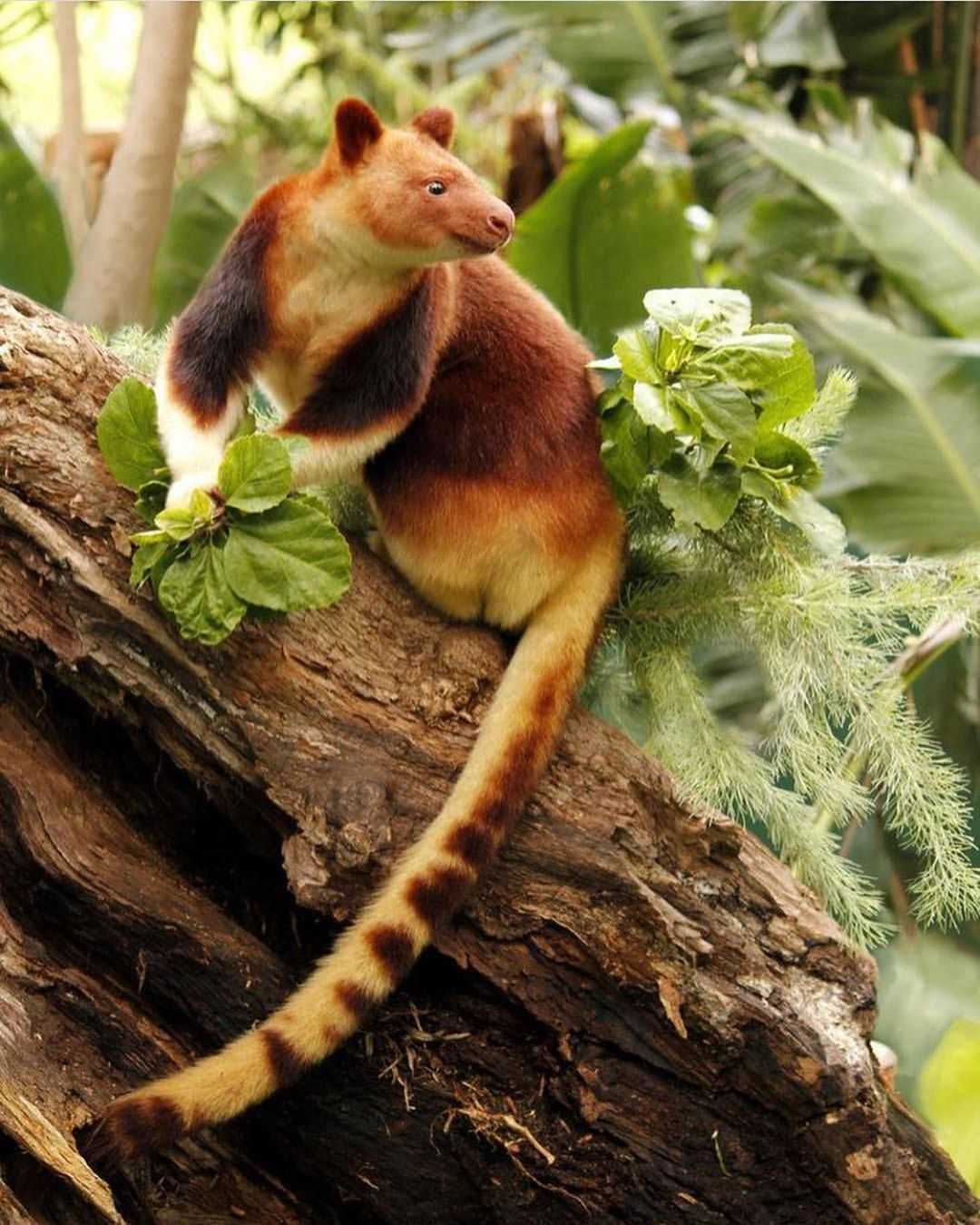Help Wanted Greetings From West Papau Indonesia I Am A Godfellow S Tree Kangaroo My Name Is No Mistake I Do Animals Animals Beautiful Nature Animals