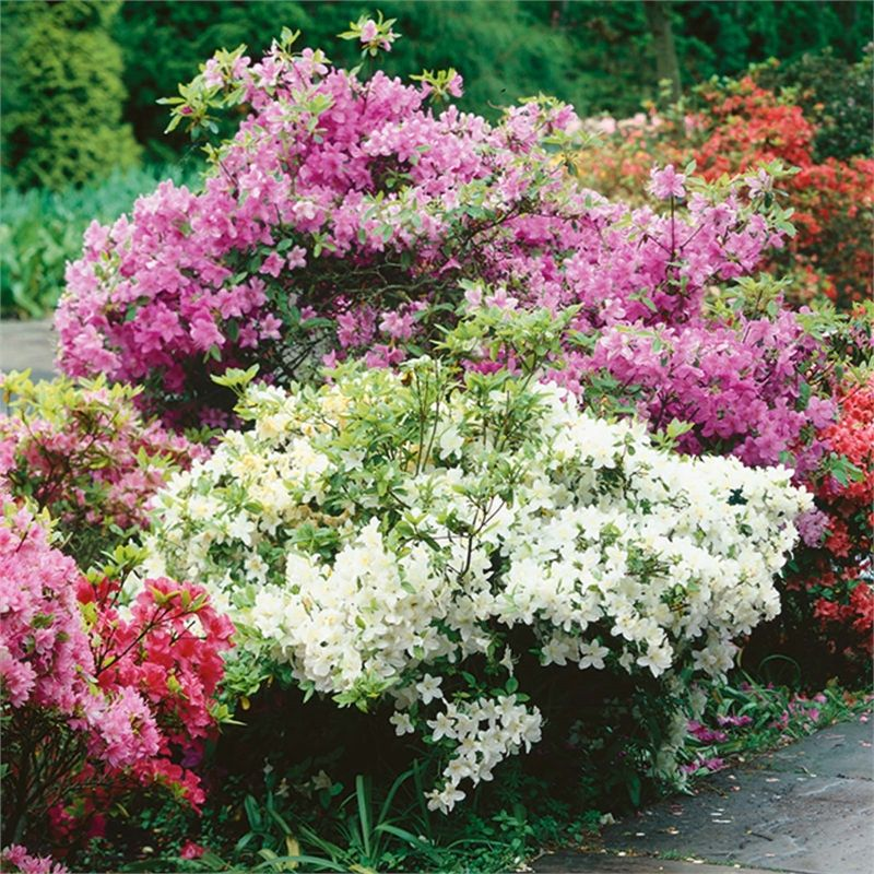 Evergreen Azalea 5L Evergreen shrubs, Evergreen, Hardy