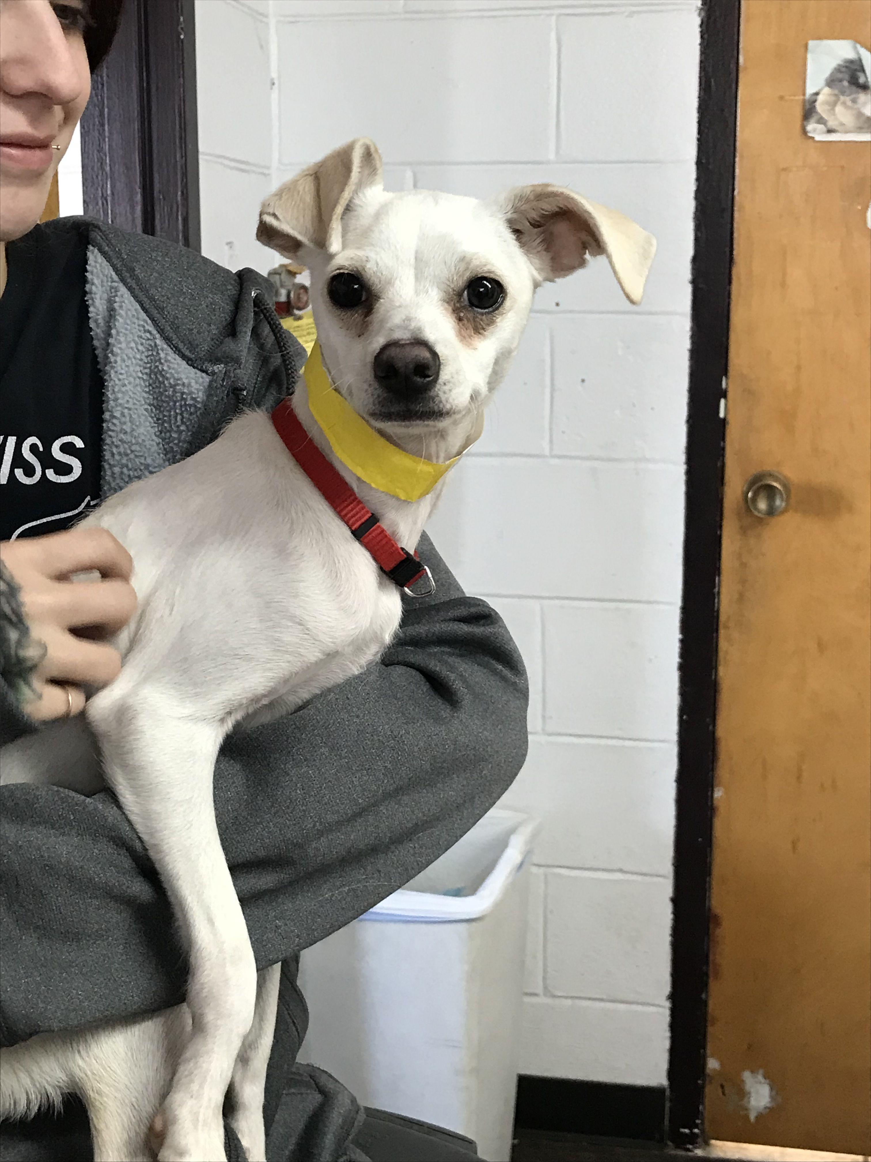 Italian Greyhuahua dog for Adoption in Hudson, CO. ADN