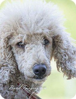 Courtice On Poodle Standard Meet Ella A Dog For Adoption