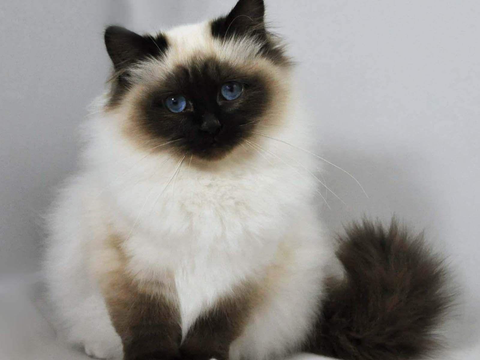 Birman Kucing Himalaya Kucing Cantik Kucing