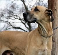 Great Dane Rescue Of Northern California Gentle Giants Dogs