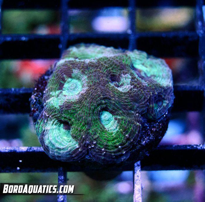 Mean Green Echinata