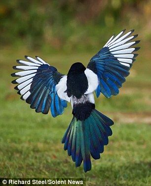 4 x magpie feet taxidermy costume goth jewellery art crafts crow feathers
