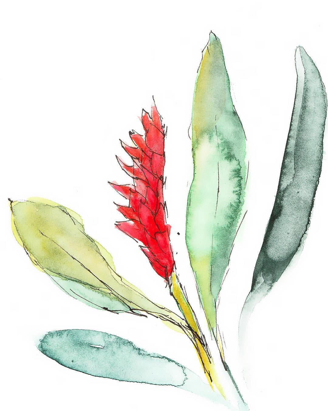 11 30 Red Ginger Quick Sketch Because Today I Wasn T Feeling My Best Gingerflower Danielsmith Stillmanandbirn Quick Sketch Ginger Flower Watercolor Art
