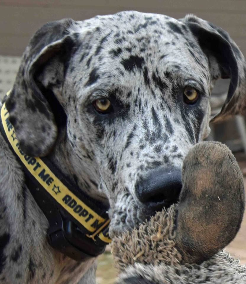 Adopt Tomas On Aesthetic Dane Dog Great Dane Rescue Great
